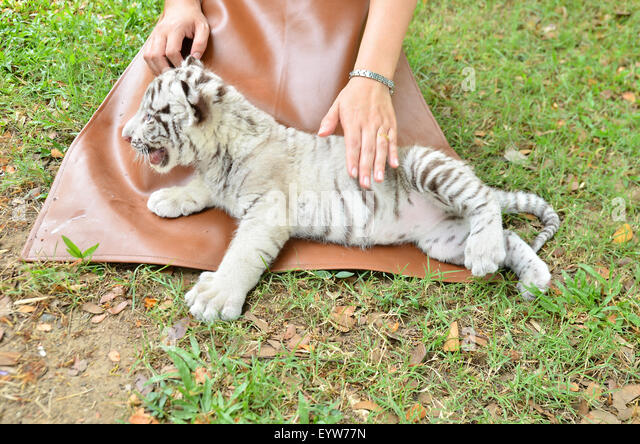 how to take care of tiger
