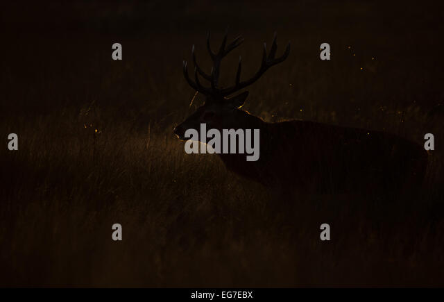 A Red deer stag photographed in Richmond Park - Stock Image