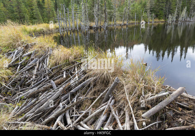 dam of a North American beaver (Castor canadensis), Jacques-Cartier National Park, province Quebec, Canada, October - Stock-Bilder