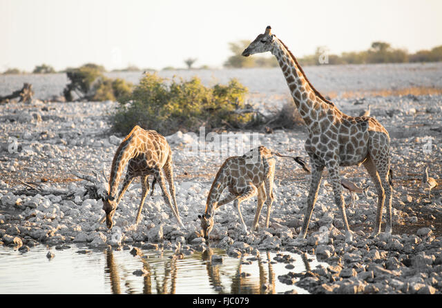 Giraffe in Etosha National Park. - Stock Image