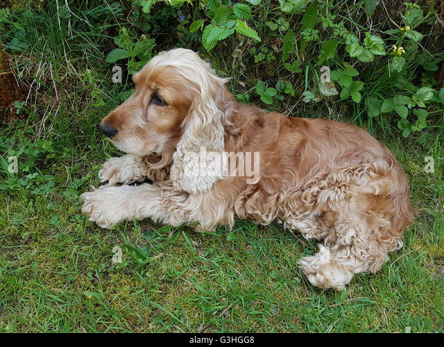 Cocker; Spaniel; Hund, Saeugetier, Bett, couch - Stock Image