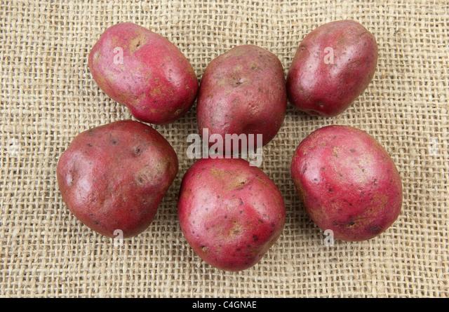 Potato (Solanum tuberosum Red Duke of York). Tubers on hessian. - Stock Image