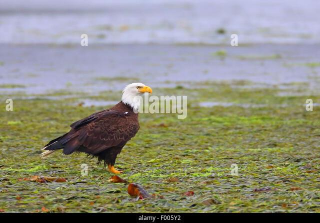 American bald eagle (Haliaeetus leucocephalus), standing on seaweed in an ocean bay , Canada, Vancouver Island - Stock Image