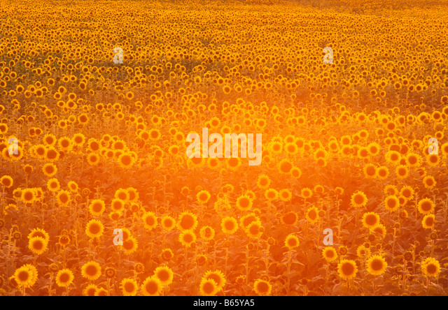 Canada Manitoba field of sunflowers back light at sunset - Stock Image