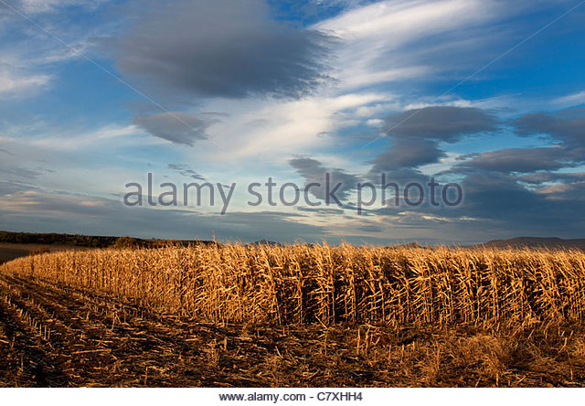 A field of maize under a summer evening sky - Stock Image