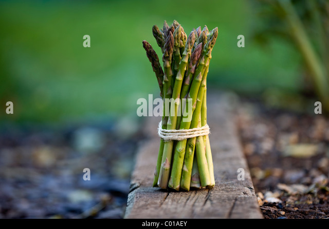 A bunch of asparagus, tied with string - Stock Image