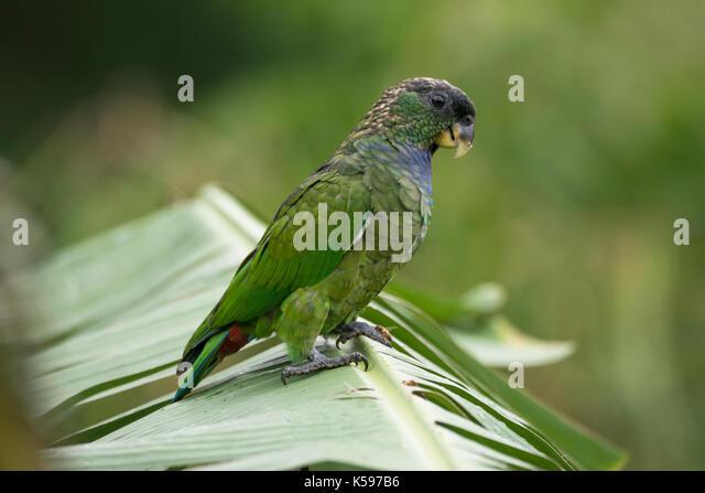 Scaly-headed Parrot (Pionus maximiliani) from the Atlantic Rainforest of SE Brazil - Stock Image