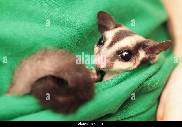 The sugar glider (Petaurus breviceps) lies in green vets uniform - Stock Image