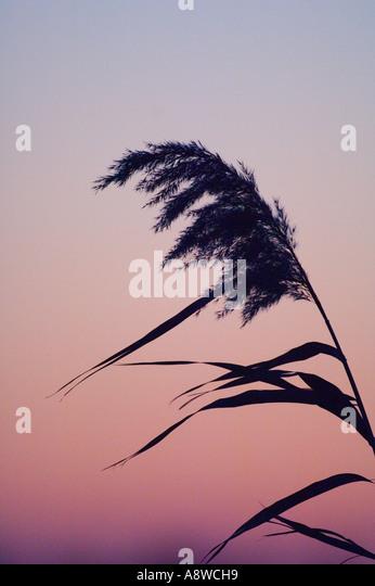 Phragmites reeds in reedbed Norfolk winter UK - Stock Image