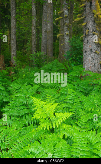 Bracken Ferns and Sitka Spruces, Temperate Rainforest, Hoh River Valley, Olympic National Park, Washington - Stock-Bilder