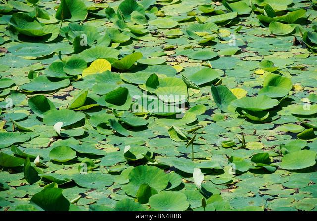India Tamil Nadu Mamallapuram nymphaea leaves - Stock-Bilder