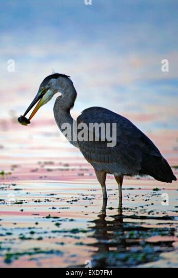 Great Blue Heron hunting fish in tide water ( Ardea herodias ) - Stock-Bilder