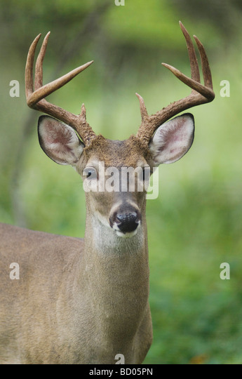 White tailed Deer Odocoileus virginianus adult Hill Country Texas USA June 2007 - Stock Image