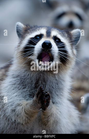 Close-up of raccoon. - Stock Image