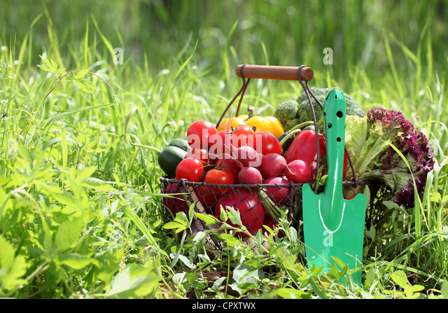 Basket full of organic vegetables with shovel on green grass. - Stock Image
