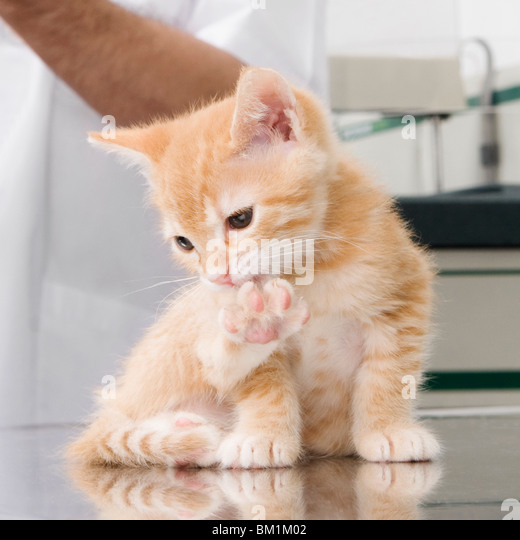 Cat licking its paw - Stock Image