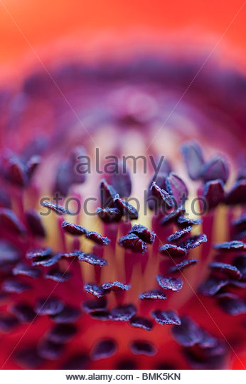 Papaver Orientale. Oriental Poppy flower middle stamen close up - Stock Image