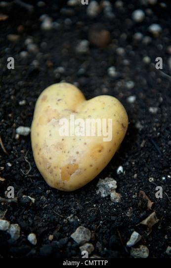Potato shaped like heart - Stock Image
