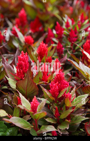 Red Celosia plant - Stock Image