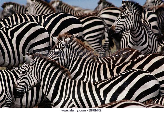 Zebra herd, Equus quagga, Masai Mara Reserve, Kenya - Stock Image