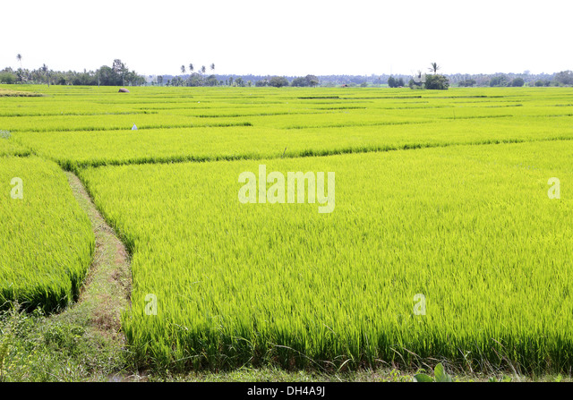 rice cultivation in india The areas of basmati rice production in india are in the states of punjab, haryana, himachal pradesh, delhi, uttarakhand, uttar pradesh and bihar india's total basmati production for the july 2011-june 2012 crop year was 5 million tonnes [10.