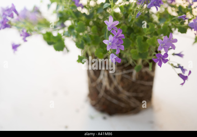 Closeup of delicate flowers - Stock Image