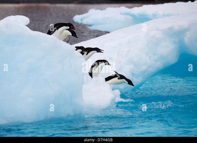 Adélie Penguins, (Pygoscelis adeliae) Icebergs at Brown Bluff, Antarctica. - Stock Image