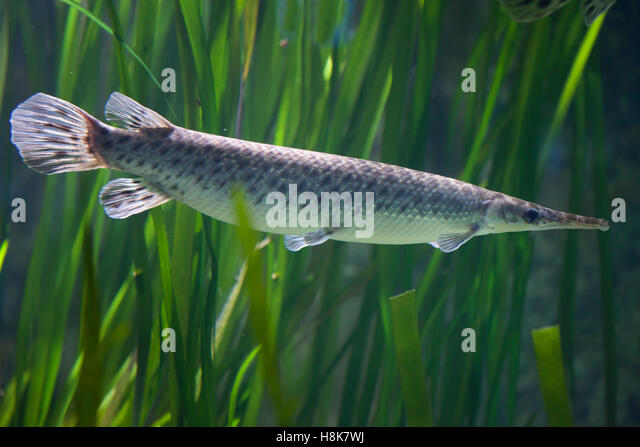 Spotted gar lepisosteus oculatus stock photos spotted for Freshwater gar fish