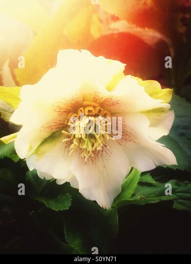 White hellebore flower - Stock Image