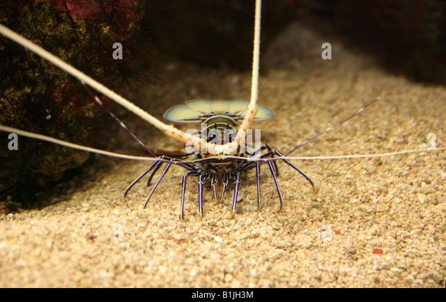 Palinuridae Stock Photos & Palinuridae Stock Images - Alamy