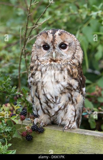 Tawny owl (Strix aluco), captive, United Kingdom, Europe - Stock Image