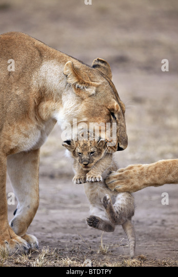 Lioness carrying cub.Will frequently move young cubs in order to prevent an accumulation of scent. Masai Mara National - Stock-Bilder
