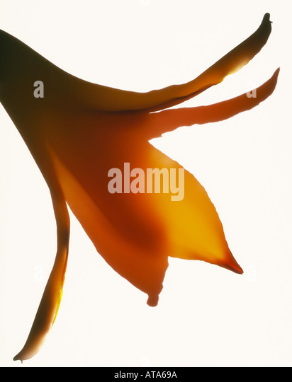 photogram of a lily - Stock Image