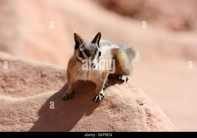 Chipmunk at Scout's Landing,near Angel's Landing, West Rim Trail, Zion - Stock Image