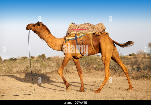 Camel in the Thar Desert, Rajasthan, India - Stock Image