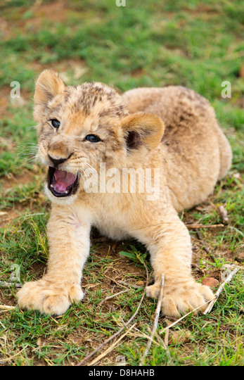 Lion cub growling at the camera - Stock Image