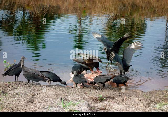 Black Vulture Eating Stock Photos & Black Vulture Eating ...