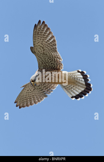 An adult male Kestrel stationary in the hover - Stock Image