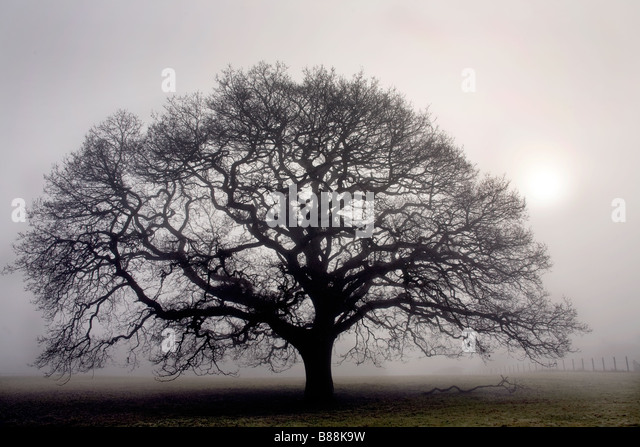 Oak tree in thick fog near Sandhurst Kent UK - Stock Image
