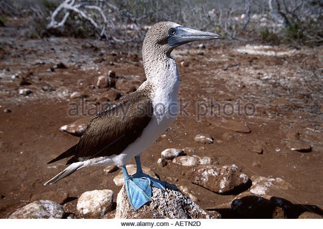 Ecuador Galapagos Islands North Seymour Island blue footed booby bird adult - Stock Image