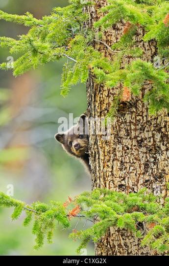 Baby Black Bear Peek-a-boo - Stock Image