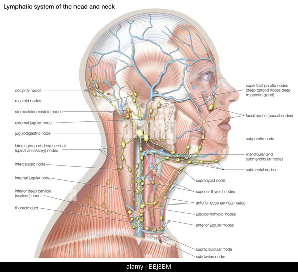 The lymphatic system of the head and neck helps defend against infection by supplying disease-fighting cells called - Stock Image