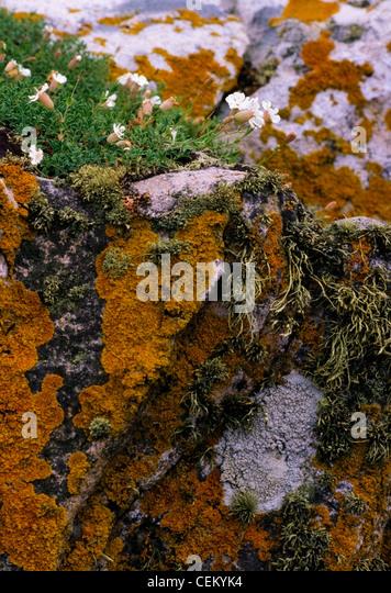 Bladderwort On A Stone Wall, Ireland - Stock Image