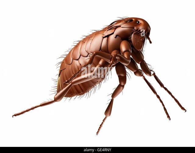 Xenopsylla Cheopis Life Cycle Siphonaptera Stock Pho...