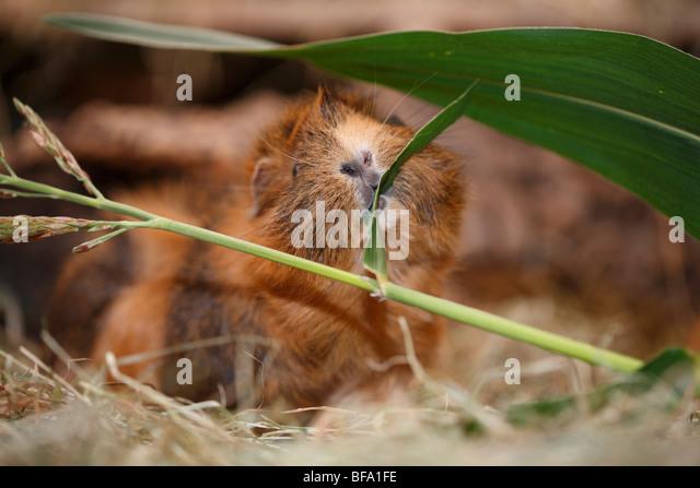 cavy, guinea pig (Cavia spec.), nibbing a grass blade - Stock Image