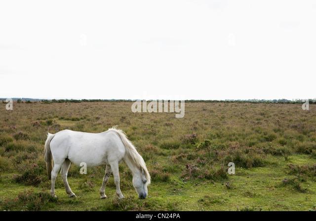 Wild horse grazing - Stock-Bilder