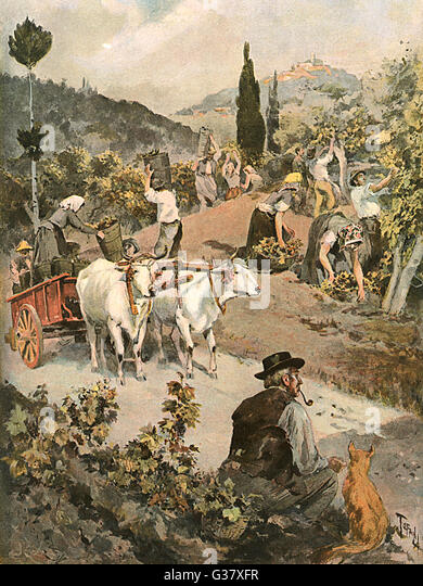ITALY The vintage in Tuscany, near Firenze        Date: 1894 - Stock Image