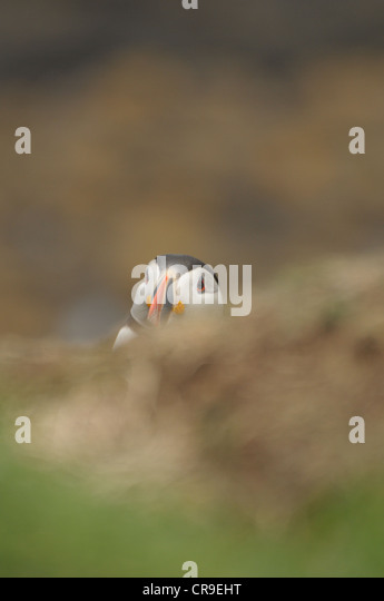 Puffin, Fratercula arctica, looking over the bank, Scotland. - Stock Image