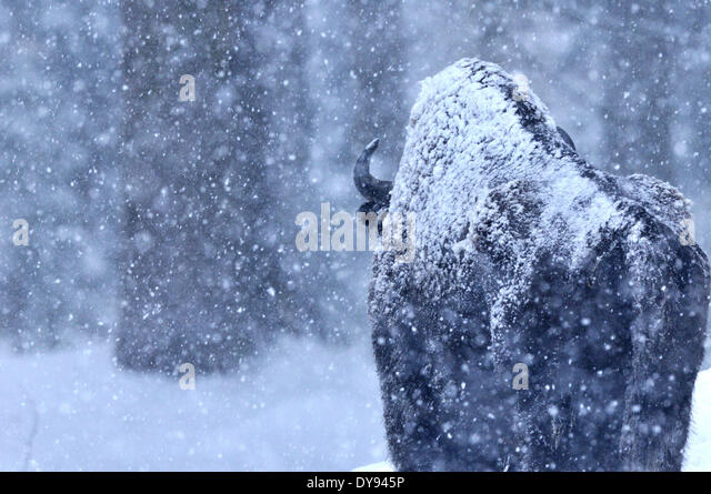 Bison bison bonasus Bovinae cattle buffaloes horns bovine cloven-hoofed animal bisons winter bisons snow animal - Stock Image