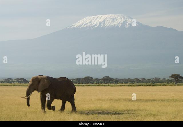 ELEPHANT WALKING IN PLAINS OF AMBOSELI NATIONAL PARK MOUNT KILIMANJARO IN BACKGROUND KENYA AFRICA - Stock Image
